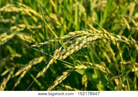 Agriculture farm scene in rural Japan. Close up of ripe rice paddy grass on the field on sunset. Selective focus DOF