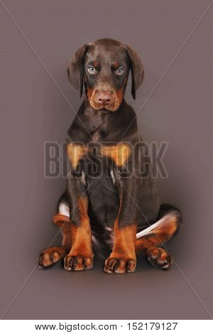 Beautiful brown Doberman puppy sitting on brown background in the Studio carefully and seriously looking at you. The best dog for the protection of the family
