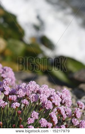 Armeria maritinum thrift or sea pink flowers and distant rocks and waves.