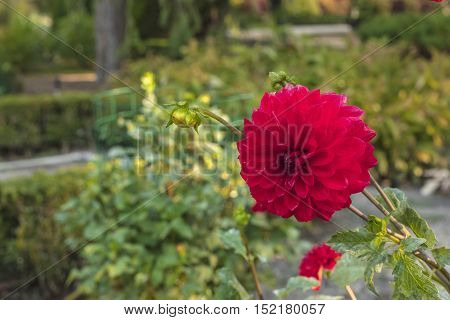 A photo of a bright red dahlia on a blurred natural background in a botanical garden
