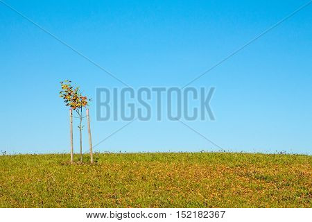 Solitary tree on grassy hill and blue sky in the background