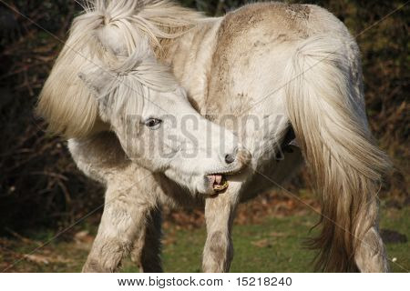 Wild horse with an itchy leg.