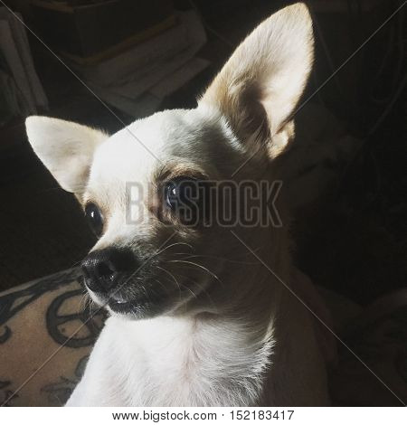Little white chihuahua dog subtle lighting pet