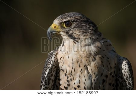 Side view profile photograph of a hybrid falcon. A cross between a peregrine and saker falcons.