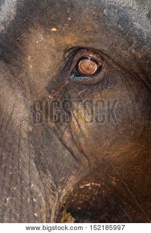 Head of indian elephant with big eye