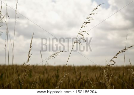 Wheat plants in a field horizontal image