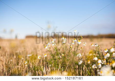 Daisy flowers on a crop field in autumn at sunrise