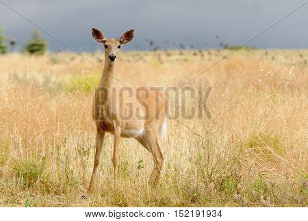 Whitetail or White-tailed doe (Odocoilus virginianus) in a very alert mode looking for danger