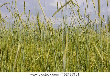 Green wheat field in summertime in Almaty Kazakhstan