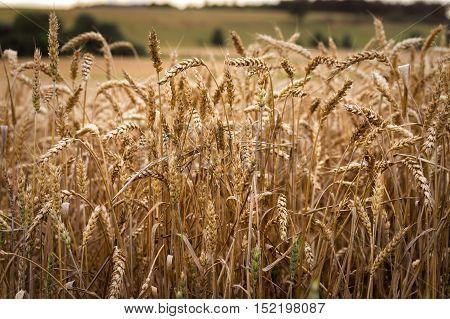 A close up on a beautiful cornfield