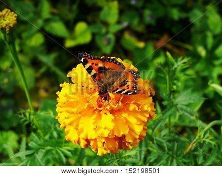 the butterfly of peacock eye sitting on a yellow flower.