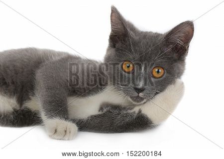 portrait british kitten isolated on the white