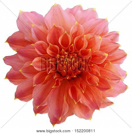 Dahlia flower white background isolated with clipping path. Closeup. with no shadows. Macro. Nature. Red.
