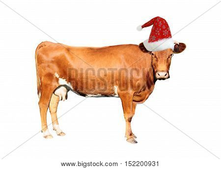 the brown cow isolated on white background
