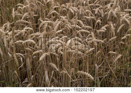 A close up on a beautiful cornfield.