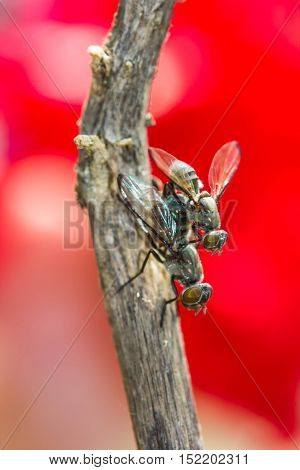 Wild flies mating.(Lispe tentaculata) on nature ackground