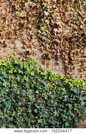 Creeping Ivy With Cut Off Vines