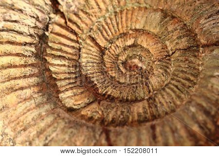 Ammonites Fossil Background