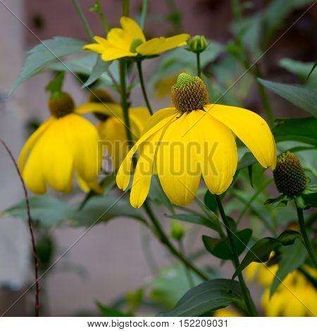 Rudbeckia Bright Yellow Flower In Garden Border
