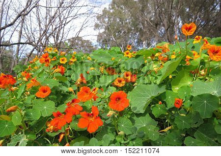 Orange garden bed of nasturtium flowers in full bloom