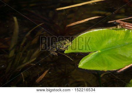 Close up of a green common frog