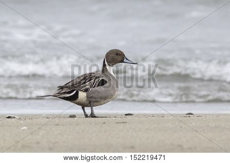 Northern Pintail male who stands on the shore of the ocean on a sandy beach