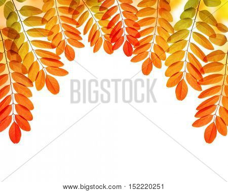 Colorful autumn leaves of Acacia or Black Locust isolated on white background.