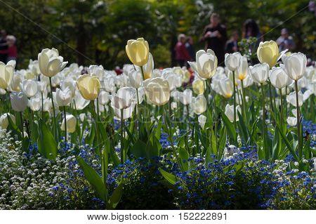 Focus on a white Tulip. Beautiful white Tulips