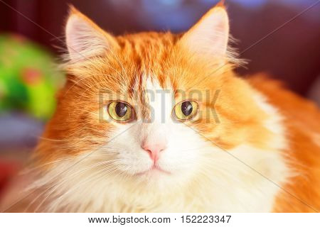 Portrait of adult luxurious red cat close-up