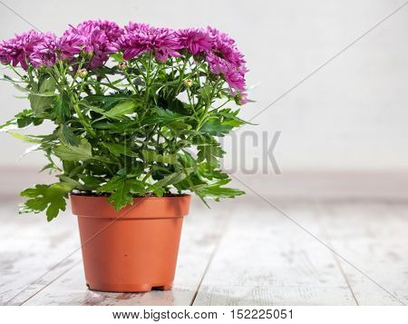Flower in pot. Purple chrysanthemums in a pot