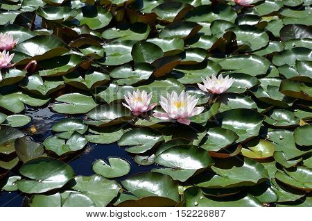 Flower Of Waterlilies Flowering On Small Lake Detail Photography