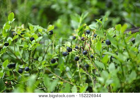 Blueberries Bush In Summer Nature Berry Detail Photography