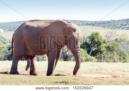 Huge African Elephant Standing At The Drinking Hole