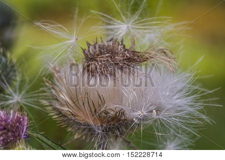 Dry Weed Common