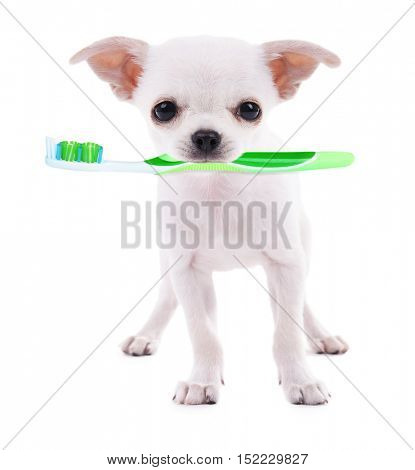 Adorable chihuahua dog with tooth brush, isolated on white