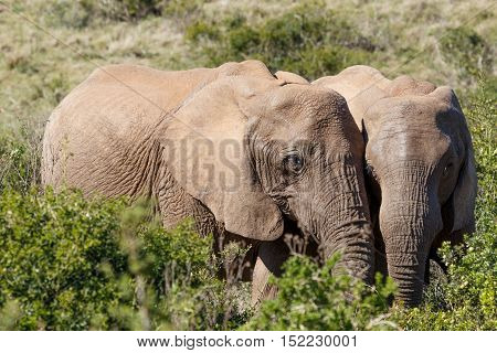 African Bush Elephants Standing Close To Each Other