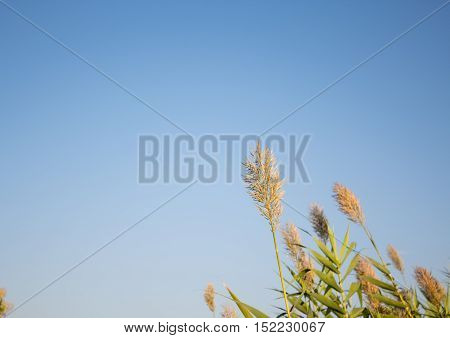 single paddy crop with excellent blue sky