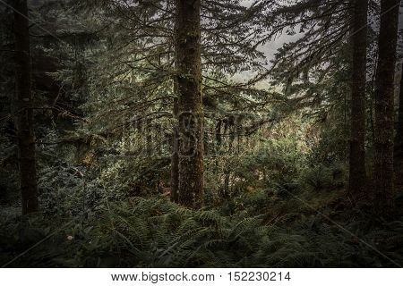 Fog in the autumn mountains. Tall evergreens and ferns lack a color in dim light.