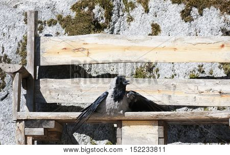 a crow suntanning on a wooden bench