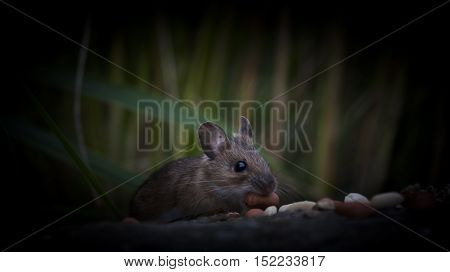 a mouse coming out of the dark for peanuts