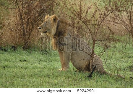 Entire old male lion with collar and scars sit in the grass