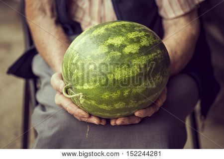 Detail of an elderly woman holding a ripe watermelon grown in her garden. Selective focus