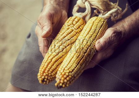 Detail of an elderly woman's hands holding two corn cobs after harvesting. Selective focus