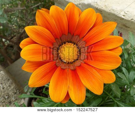 Fully Blooming Bright Orange Flower with Yellow Pollen over the Green Leaves