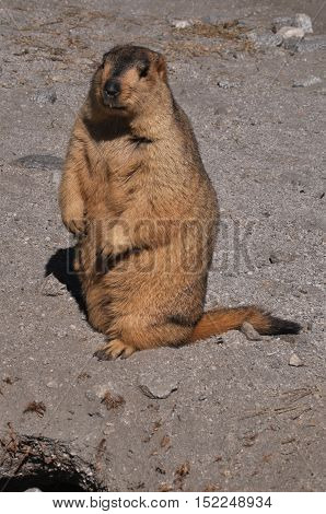 LEH, JAMMU AND KASHMIR, INDIA-OCTOBER 1, 2014: A Young Himalayan Marmots in search of food at Leh, Jammu and Kashmir, India.  The Himalayan Marmots (Marmota Himalayan) are large ground squirrels about the size of a large housecat