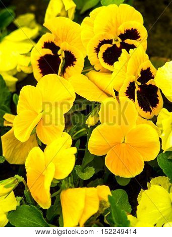pansies Colorful floral background from flower pansy. pansies. yellow violets