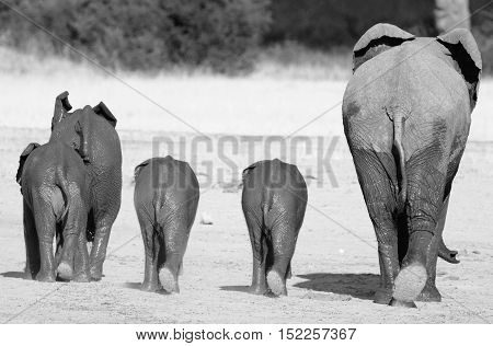 Rear end of a parade of elephants in Hwange National Park