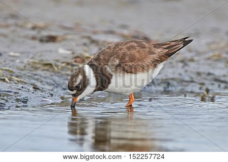 Common ringed plover (Charadrius hiaticula) looking for food in its habitat