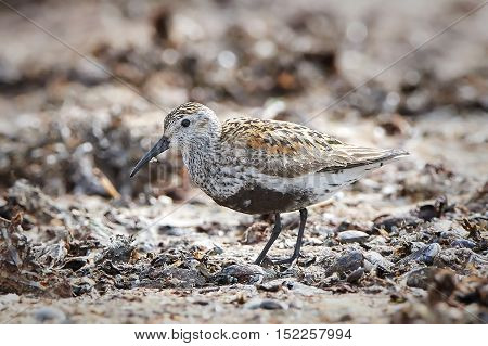 Dunlin (Calidris alpina) looking for food in sand in its habitat