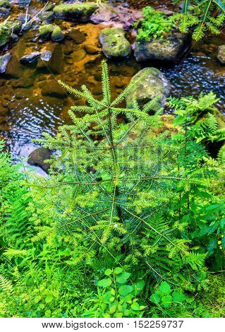 Spruce in the Black Forest near Triberg Waterfall in Germany